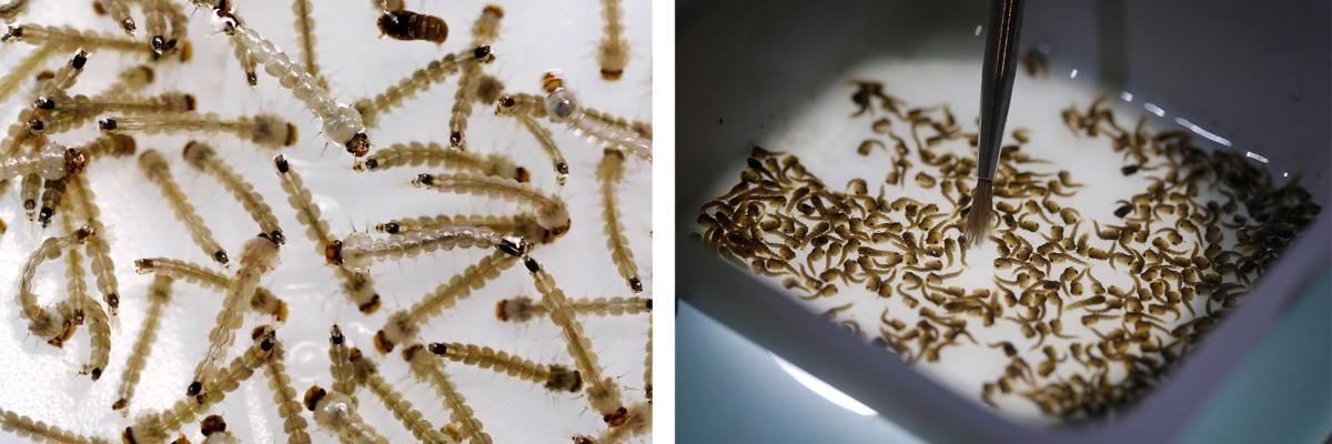 The larvae of Aedes aegypti mosquito are seen inside Oxitec laboratory in Campinas, Brazil